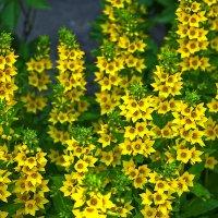Вербейник - солнечные цветы :: Светлана