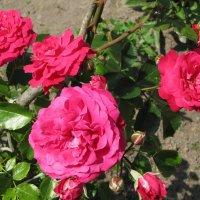 Вдыхая розы аромат... :: Людмила Жданова