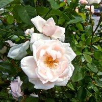 Белая роза :: Владимир Бровко