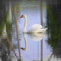 Белая лебедь на Чистых Прудах — Что-то ты плачешь? Что-то ты стонешь?.. :: Марина Валиуллина