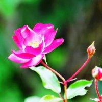 Первая розочка в саду :: ГЕНРИХ