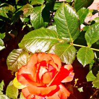 Июльская роза Фото№2 :: Владимир Бровко