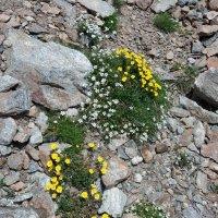 Цветы на высокорье Домбая :: Galina Solovova