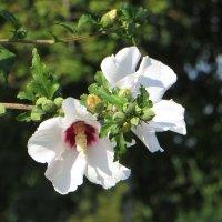 Гибискус сирийский – красивоцветущий кустарник южного жаркого лета :: Татьяна Смоляниченко