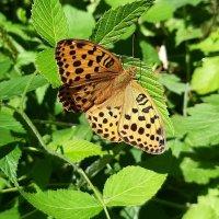 Бабочка :: Елена Павлова (Смолова)