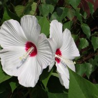 Белые цветы крупноцветкового гибискуса видно издалека. Диаметр этого цветка – 22 см! :: Татьяна Смоляниченко