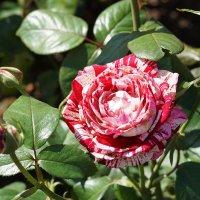 Очарование розы :: Ольга