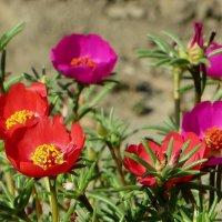 Портулак с красивыми цветами – дитя солнца, в пасмурную погоду его цветы не раскрываются :: Татьяна Смоляниченко