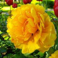 Красавец тюльпан! :: Лия ☼