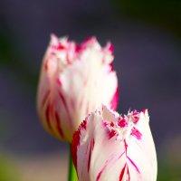 Тюльпаны :: Oleg Tumakov
