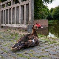 Мускусная утка :: Николай Гирш