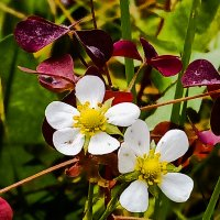 Цветок земляники в сентябре :: Сергей Кочнев