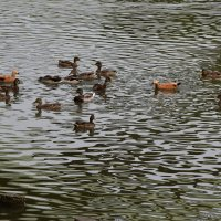 Утки на царицынском пруду :: Александр Качалин
