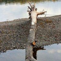 Дерево :: Радмир Арсеньев
