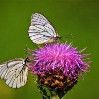 Боярышницы на цветке маральего корня :: Сергей Чиняев