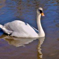 Лебедь белоснежный озером пленён :: Владимир Манкер