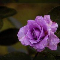 Лиловая красота :: Василиса Никитина