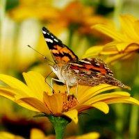 и снова бабочки...5 :: Александр Прокудин