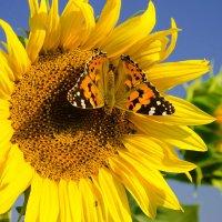 Бабочка :: Александр Ермолов