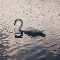Лебедь :: Виктория Белоусова