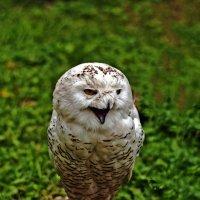 The Owl :: Roman Ilnytskyi