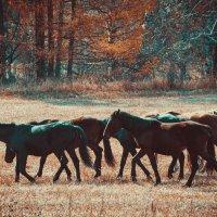 Дикие лошадки :: Виктор Васильев