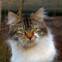 кошка :: Laryan1