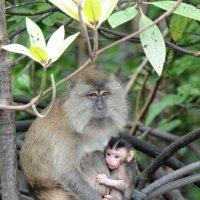 Длиннохвостая макака с младенцем :: Юрий Белоусов
