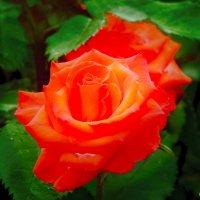 Снова роза... :: Юрий