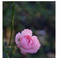 Роза :: Антон Куренков