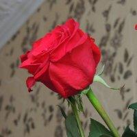 Алая роза :: Анастасия Большакова