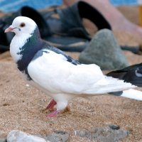 Голубь на крыском пляже :: Борис Русаков