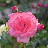 роза :: Ева Тарасевич