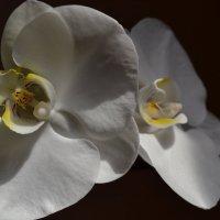 Орхидея :: Ольга Ознобишина