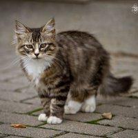 Просто кошка со двора :: Виталий Латышонок