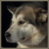 Аляскинский маламут - портрет. :: Владимир Иванов