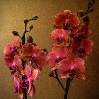 Орхидея фаленопсис из моей коллекции :: Ирина Приходько