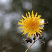 позднее цветение.. :: alex