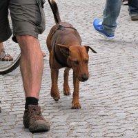 Собака-путешественница :: Ольга Иргит