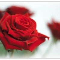Красные розы :: Boris Alabugin