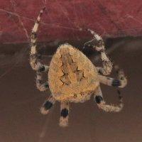 Вот это паук! :: Николай Денежкин