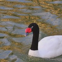Черношейный лебедь (Cygnus melancoryphus) :: Александр Володарский