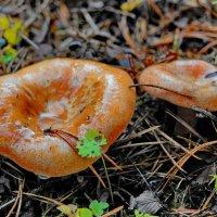 рыжики :: gribushko грибушко Николай