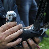Клюватый голубь :: Богдан Петренко