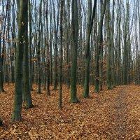 грабовый лес :: юрий иванов