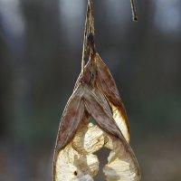 семена клена :: юрий иванов