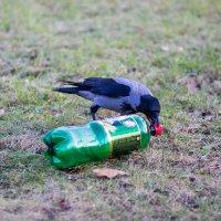 Ворона и бутылка пива... :: Ольга Соболева
