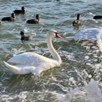 Лебедь :: Евгения Пимченко