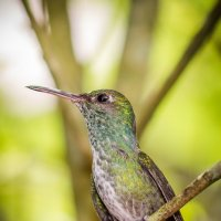 Hummingbird :: Вадим Никитин