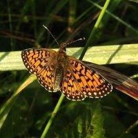 бабочка :: svetlana